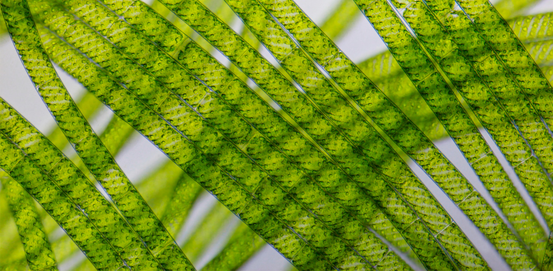 Algae strands