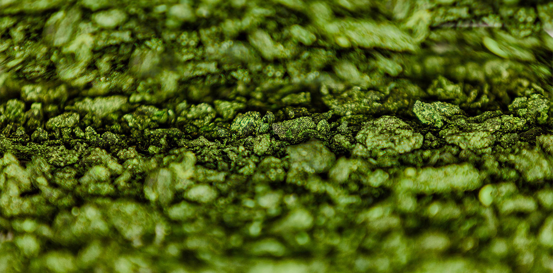 Dried algae